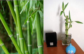bamboo and lucky bamboo