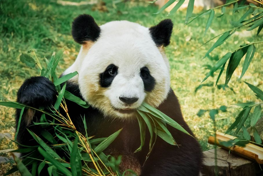 Panda turns bamboo into poo