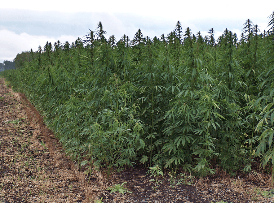 Hemp hemp hooray: Industrial hemp legalized in California