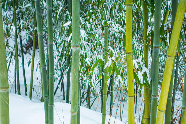 Cold hardy bamboo in the snow