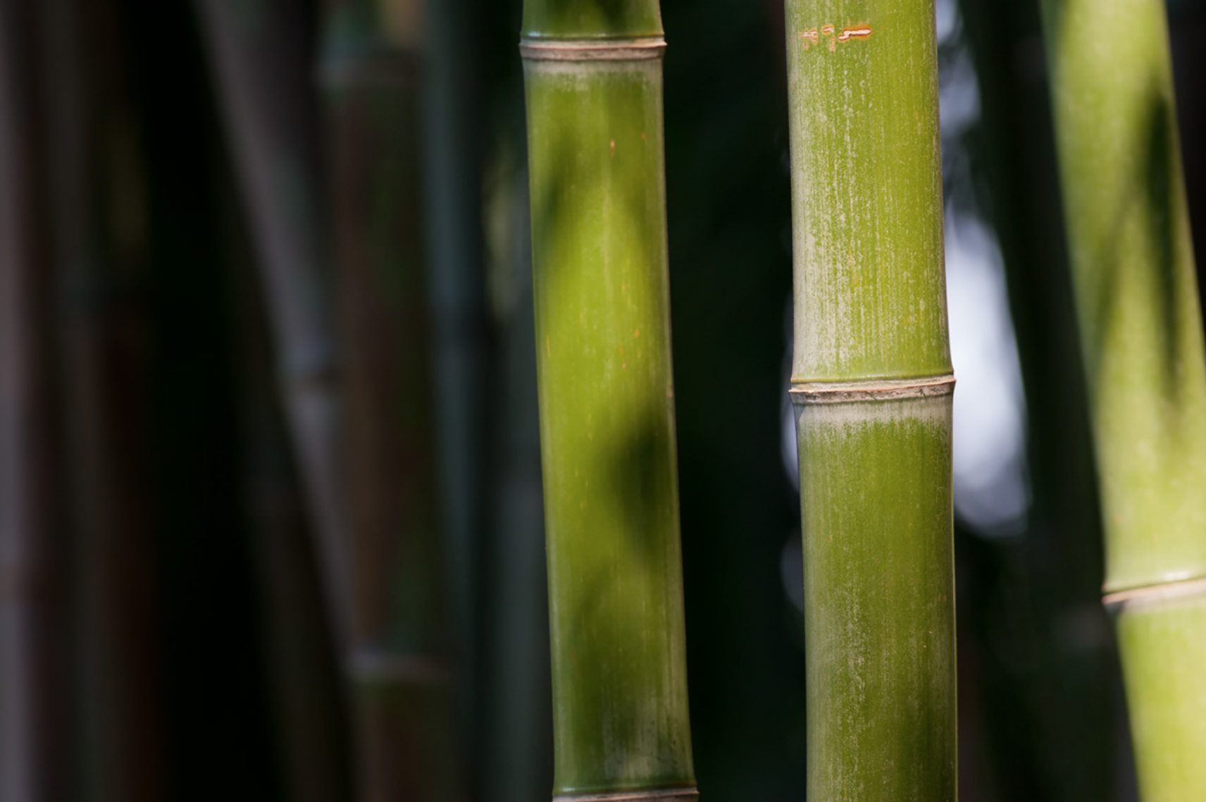 Best varieties of bamboo