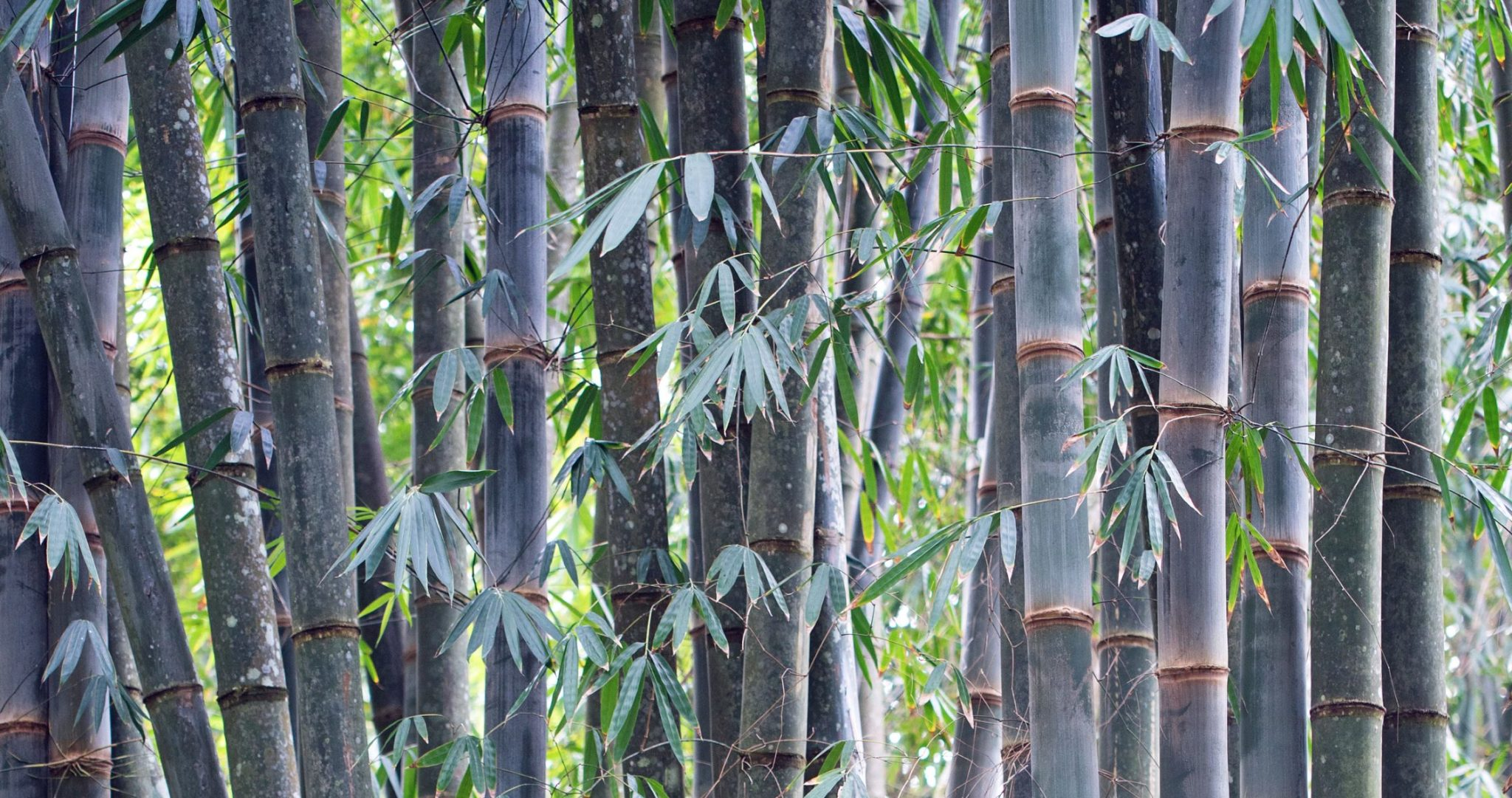 Questions about bamboo