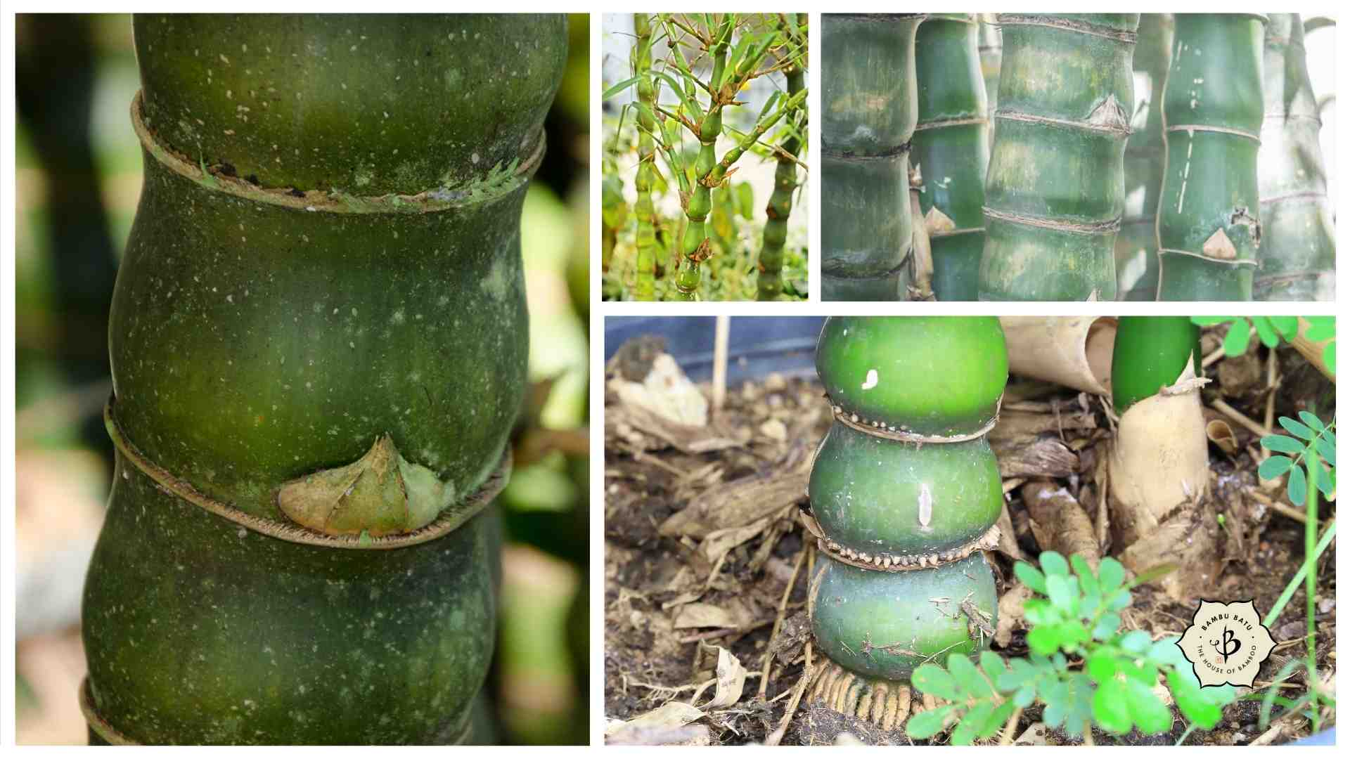 Buddha belly bamboo collage