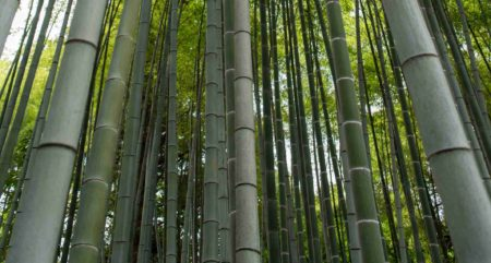 Giant bamboo for building and construction