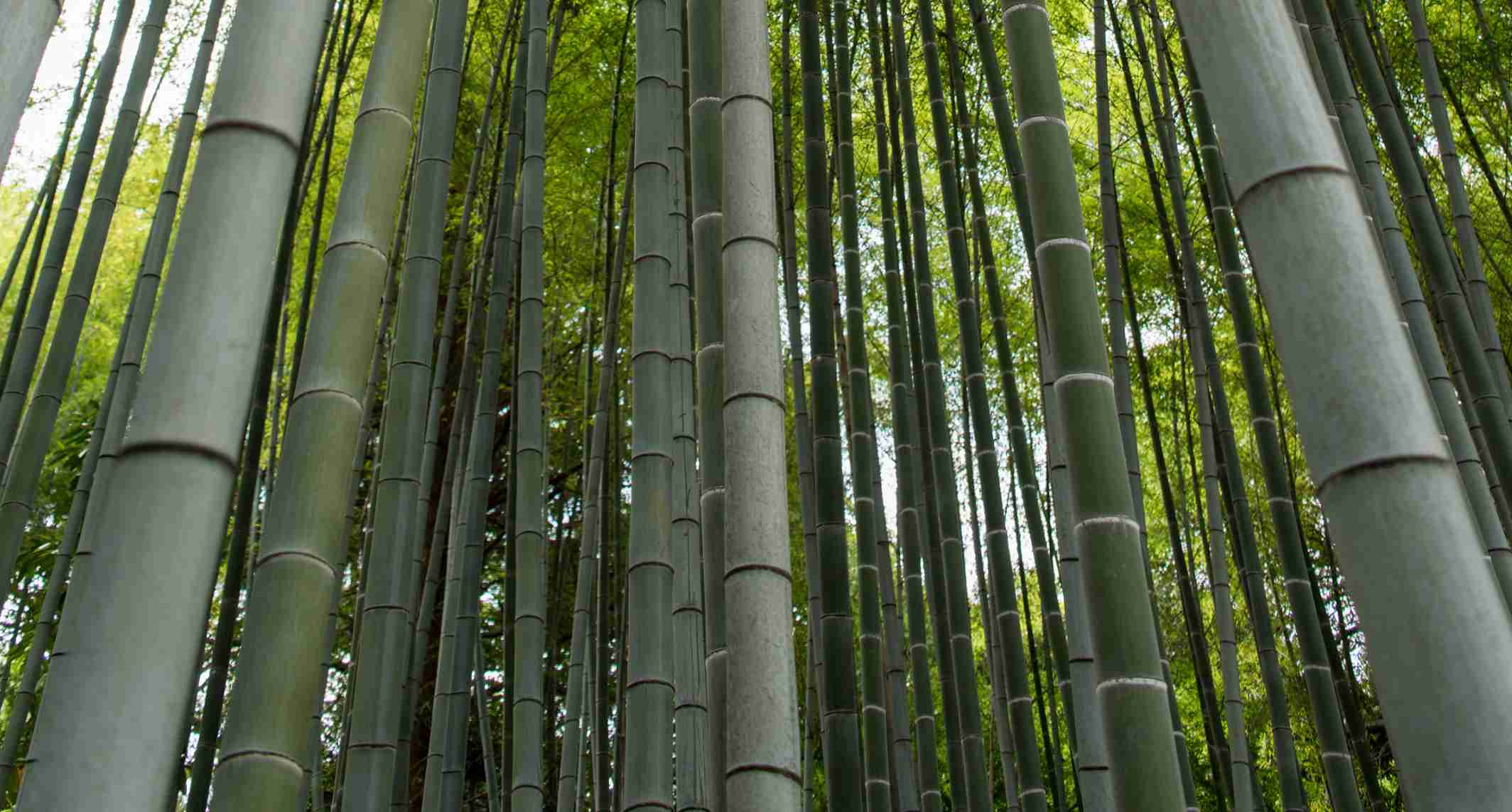 The Best Varieties of Bamboo for Building and Construction