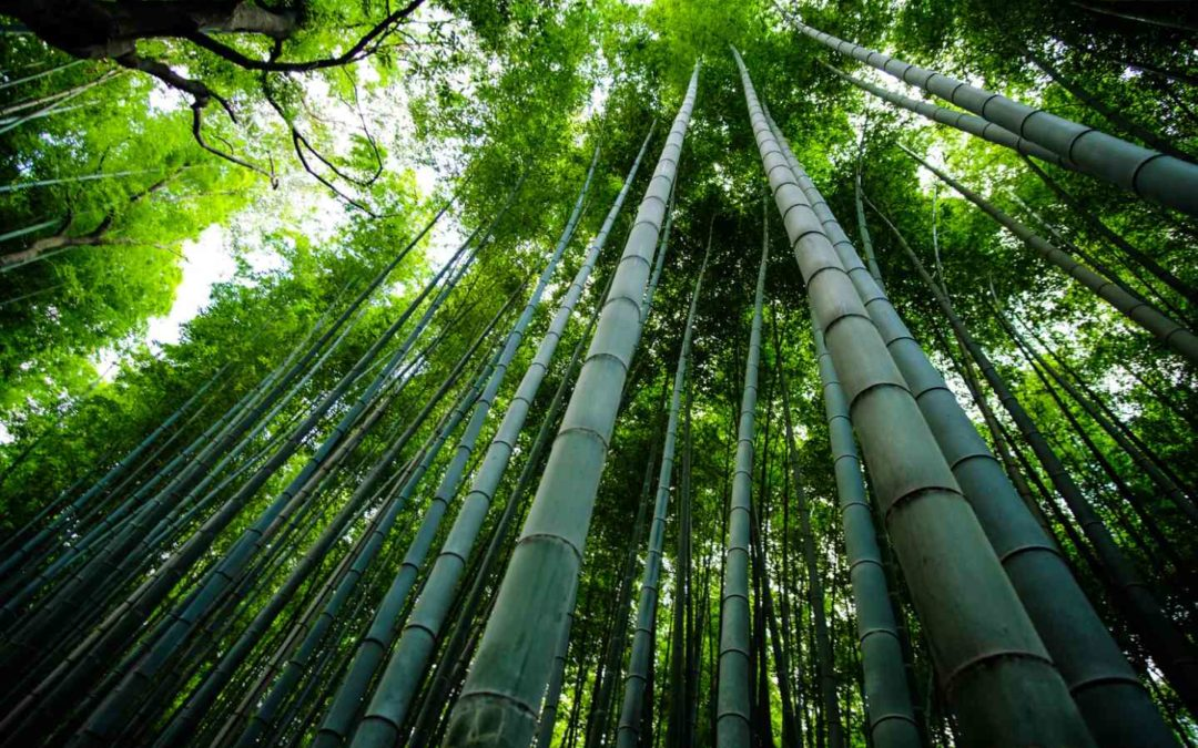 How fast does bamboo grow? A new world record