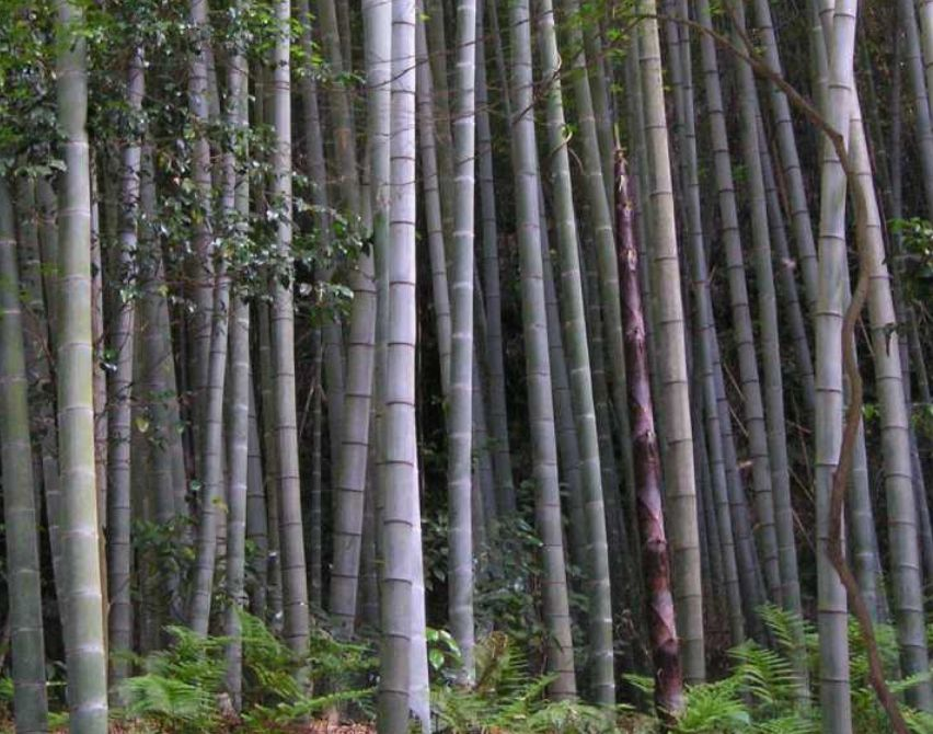 Moso Bamboo: The King of Grasses