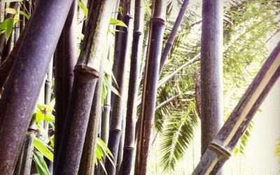 Genus Phyllostachys: Prolific bamboo for all climates