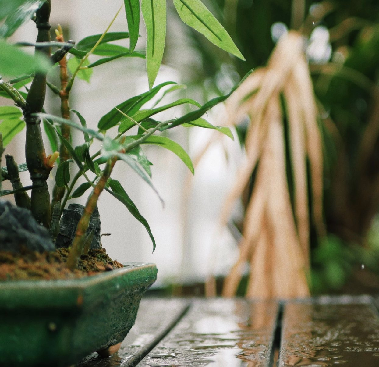 Bamboo Bonsai: Ideal accent in the Japanese garden