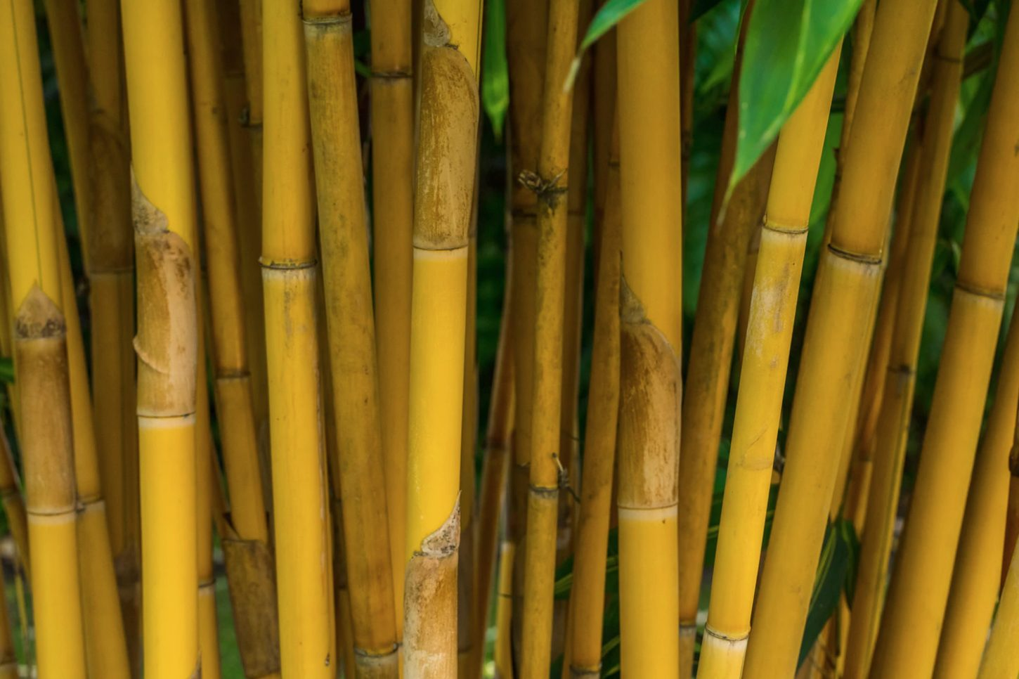 The best bamboo species for poles