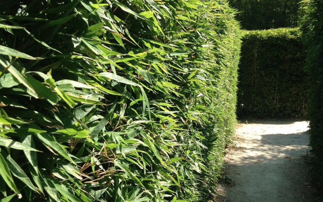 Should I plant a bamboo hedge for privacy?