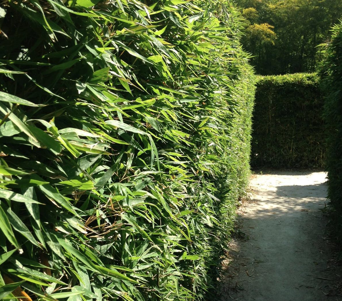 Why you should plant a bamboo hedge for privacy