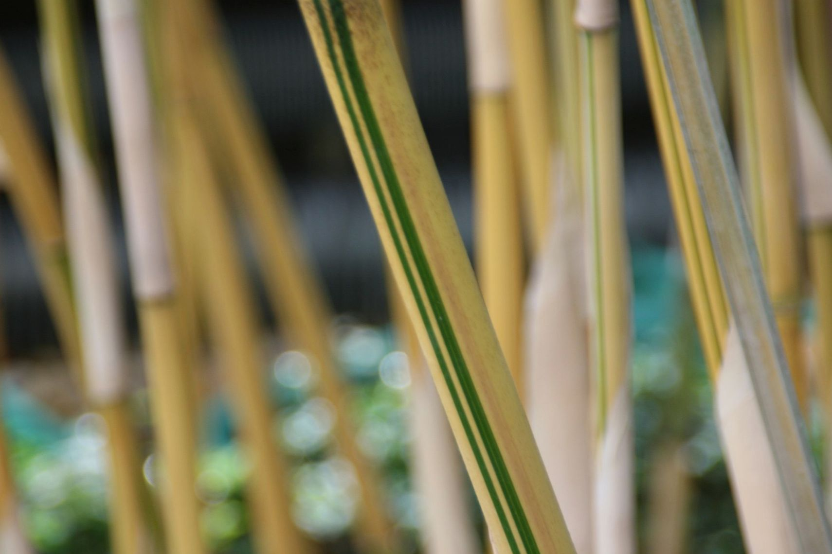 Bamboo with Stripes: Variegated varieties