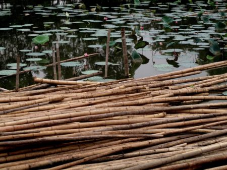 Water bamboo around ponds and wetlands