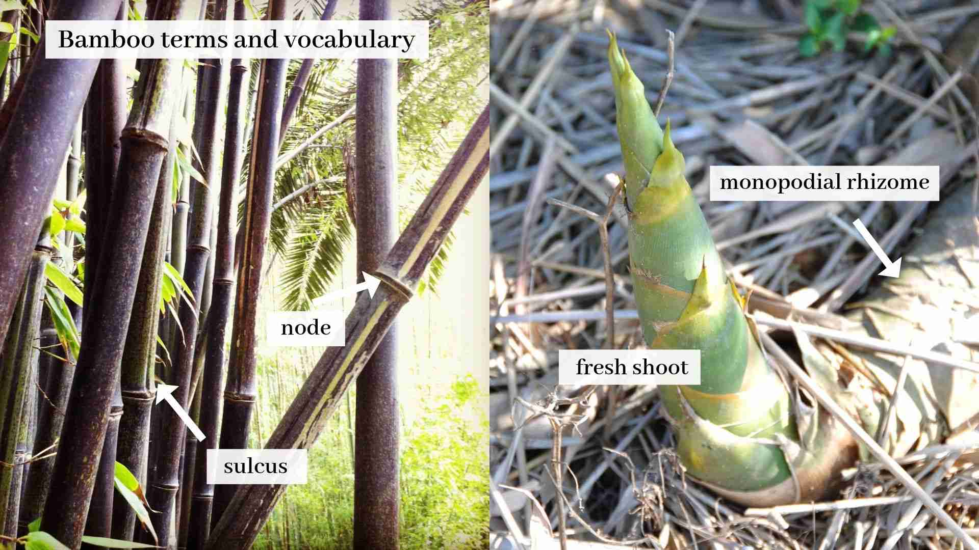Bamboo terms and vocabulary