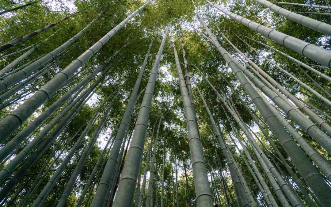 Bamboo for ecology: Planting for a greener planet