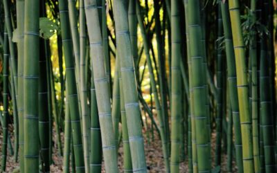 Bamboo farming in the US