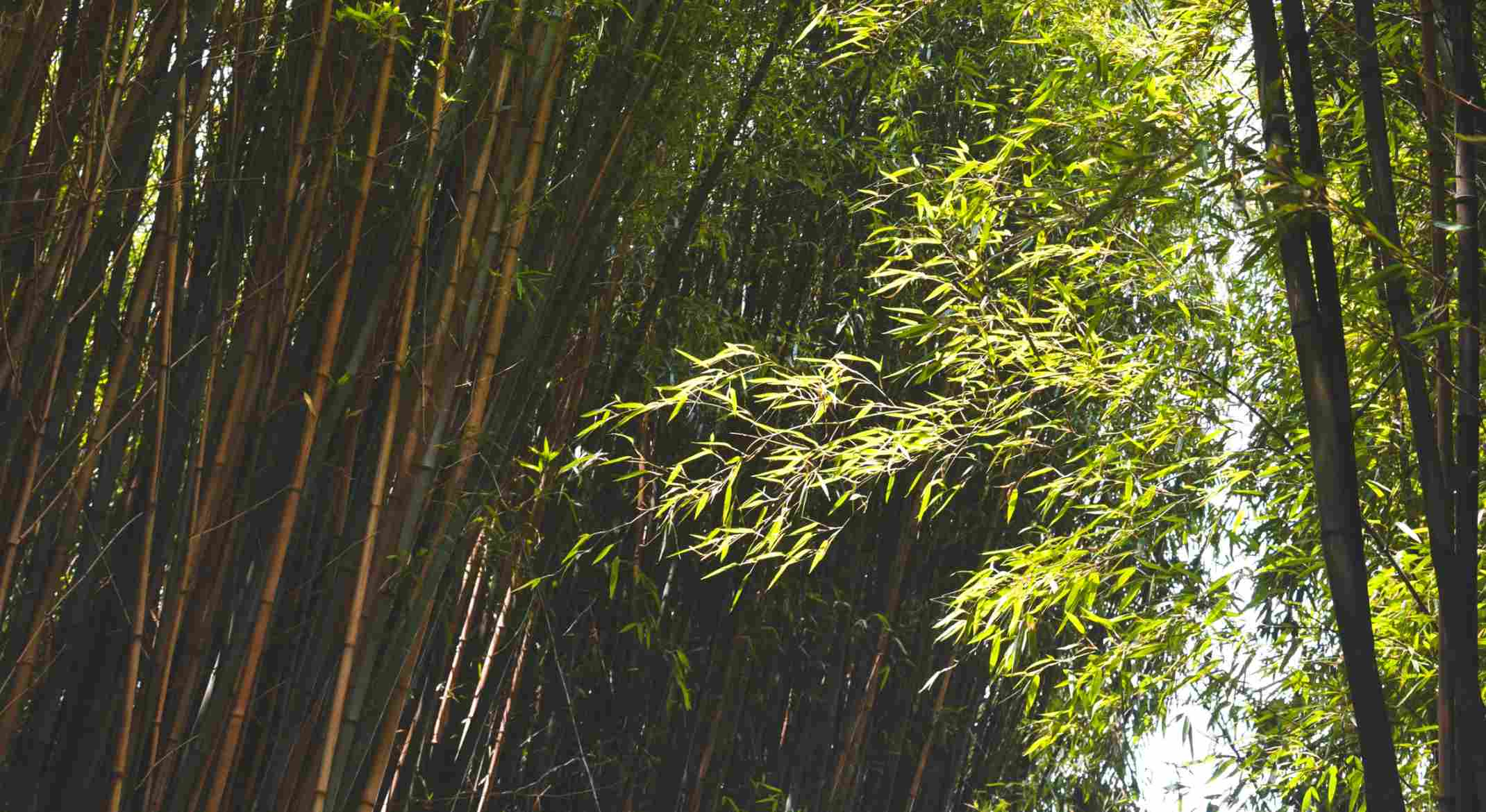 Growing bamboo in the desert