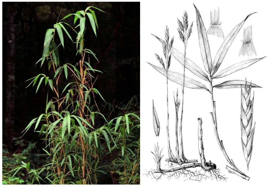 Native bamboo of North America