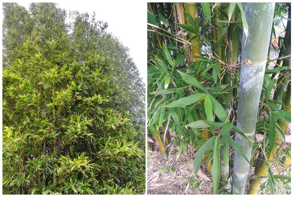 What's the most popular bamboo variety of all? Oldhamii