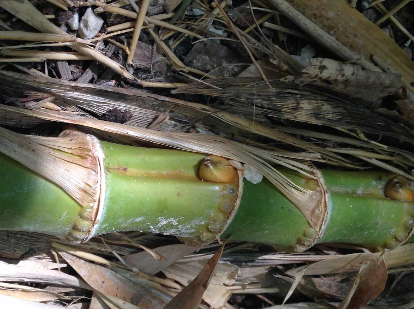 Running bamboo root