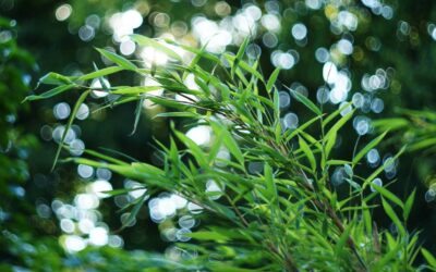 Bamboo and carbon sequestration: Saved by net zero