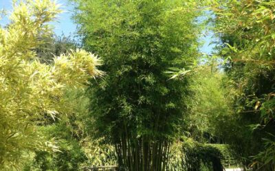 Best clumping bamboo varieties