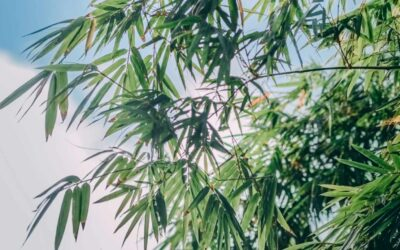 Pros and Cons of planting bamboo