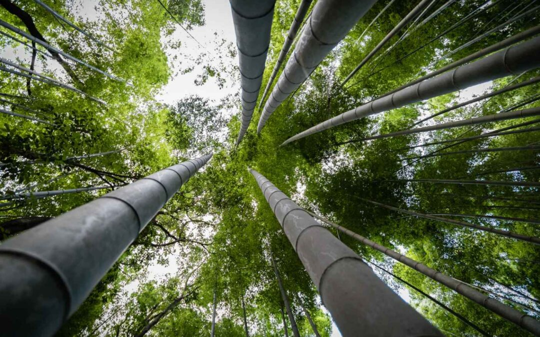Timber Bamboo: The greatest of grasses