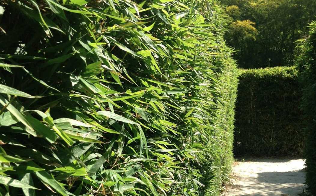 Bamboo hedge or screen