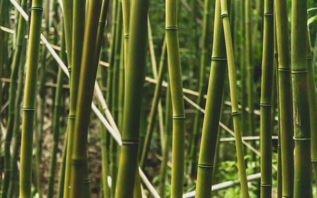 Bamboo with the longest internodes
