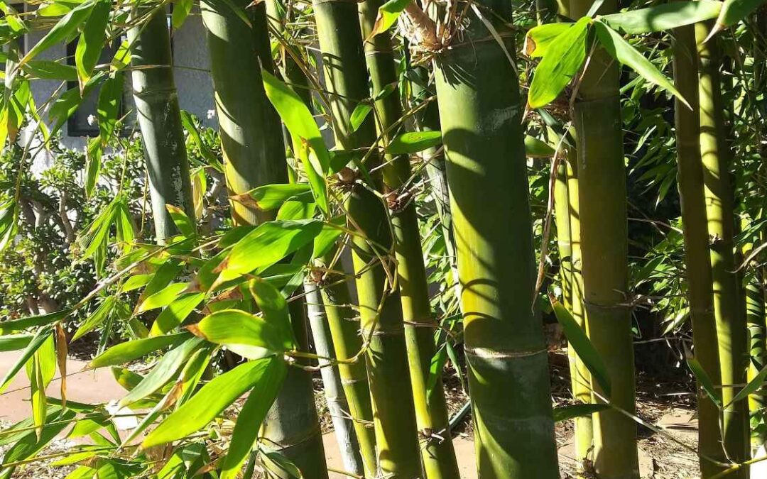 The most common kinds of bamboo