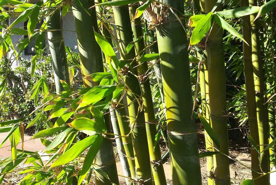Most common bamboo