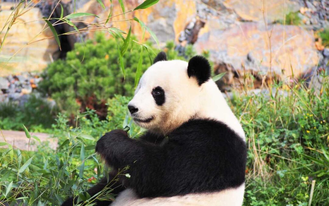 Pandas and Bamboo: Species for a specialized diet