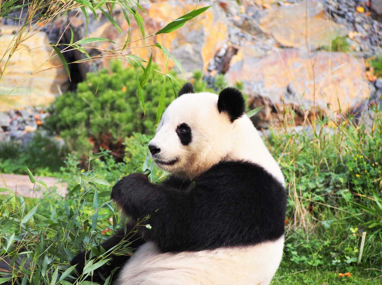 Panda and Bamboo, food for life
