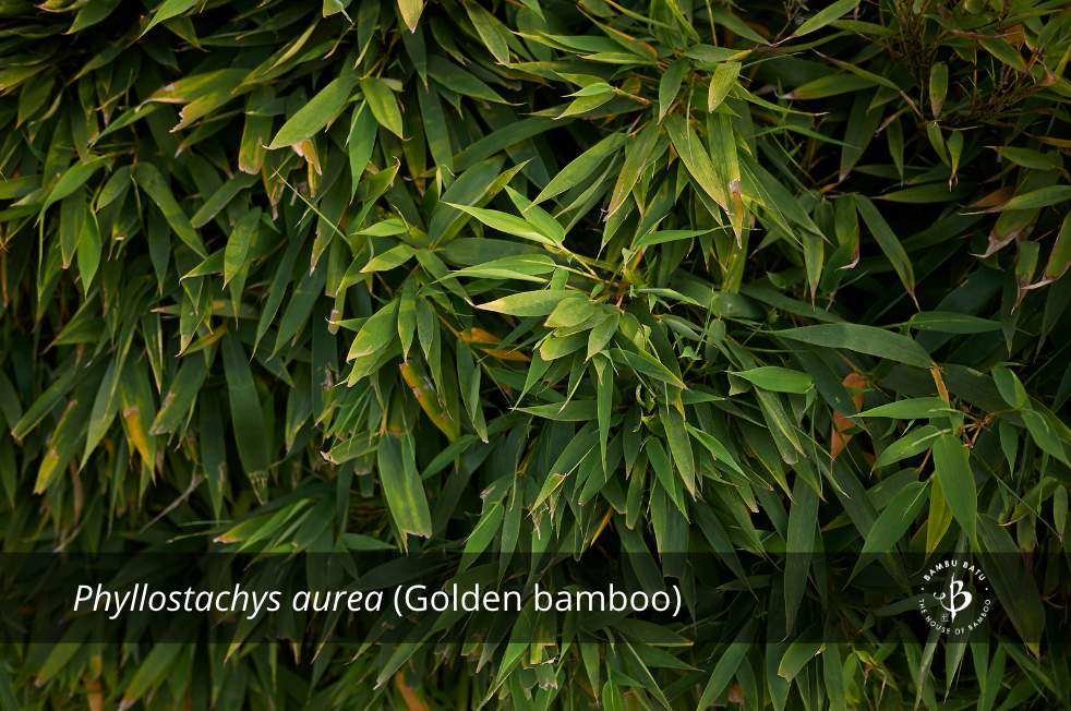 Phyllostachys aurea golden bamboo species