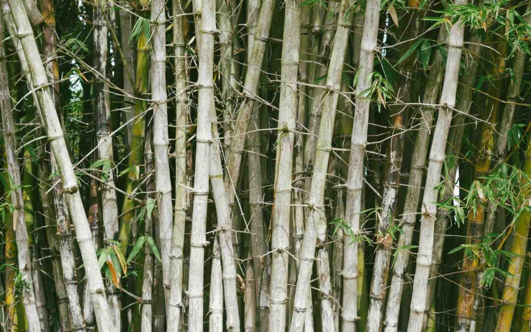 Thorny bamboo is dangerous