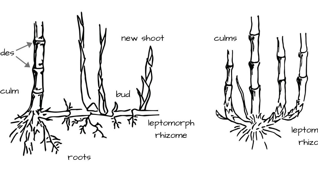 Bamboo anatomy: 9 Parts of the bamboo plant