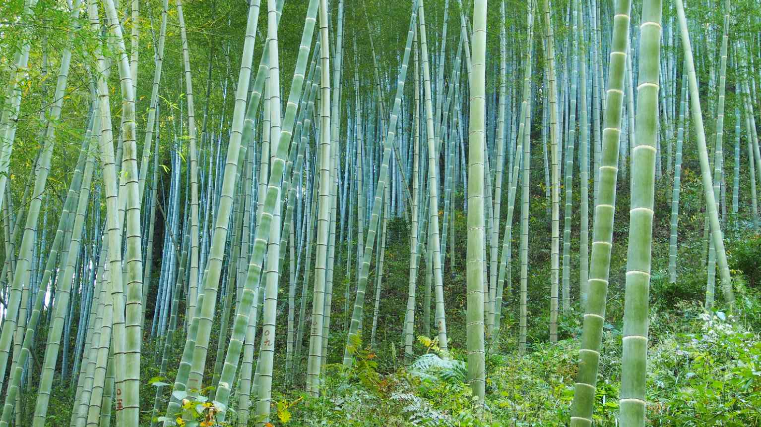 Bamboo for erosion control