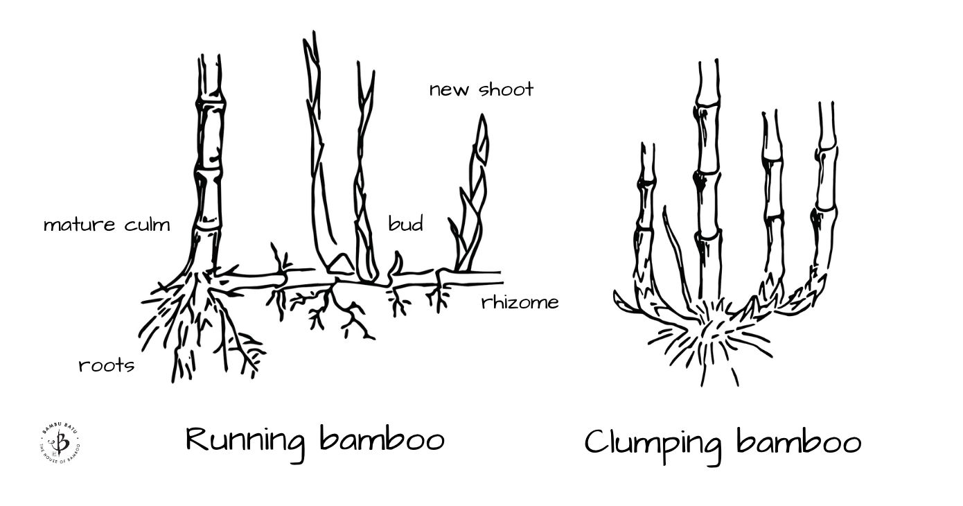Bamboo rhizomes running vs clumping