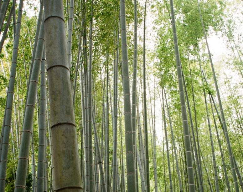 How long does bamboo live?