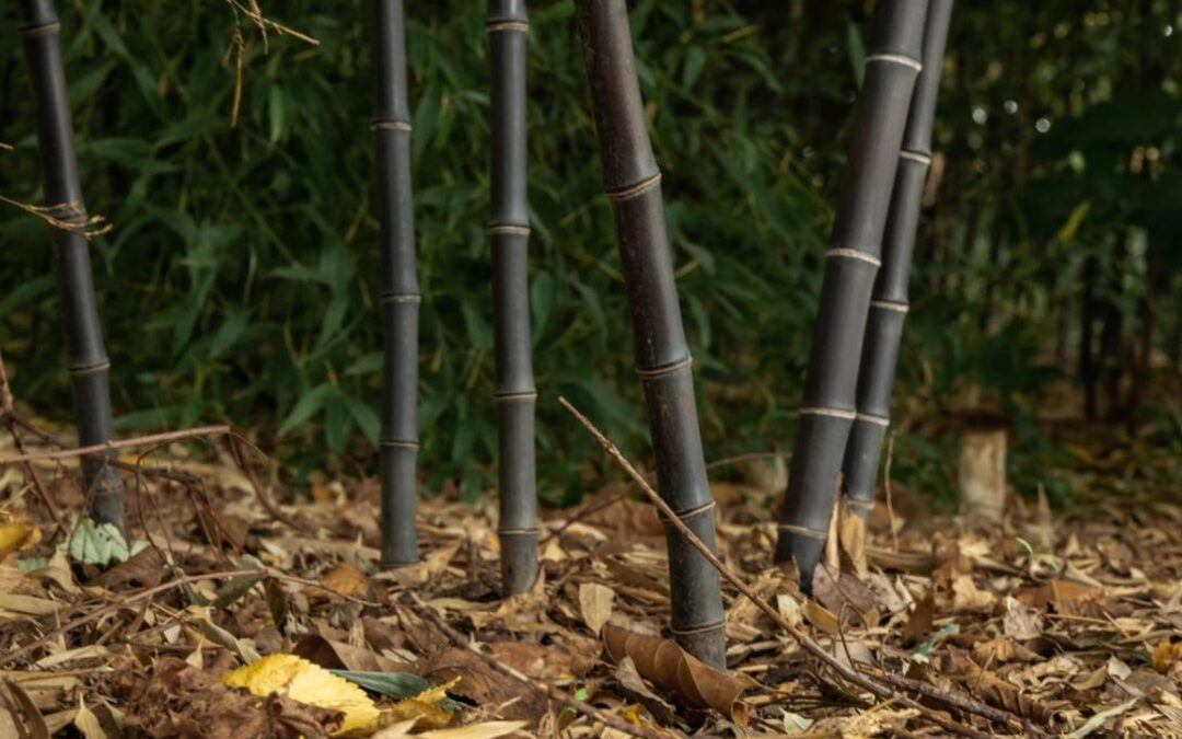 Preparing bamboo for winter