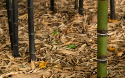 Fertilizing your bamboo: Simple solutions