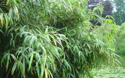 Genus Fargesia: Clumping bamboo for cold climates