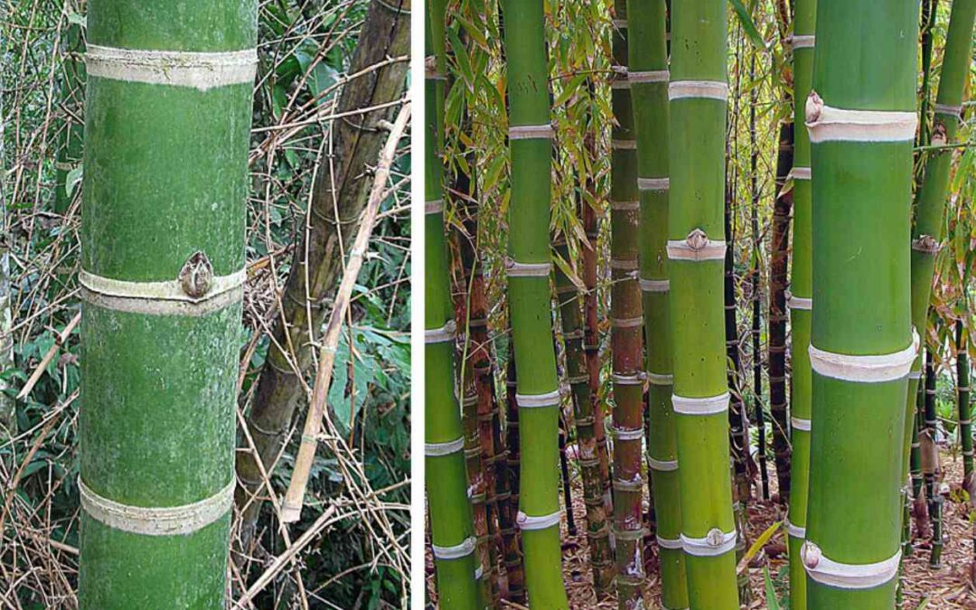 Genus Guadua: Giant neotropical bamboo