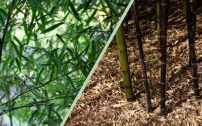 Pruning bamboo: Restore your grass's grandeur