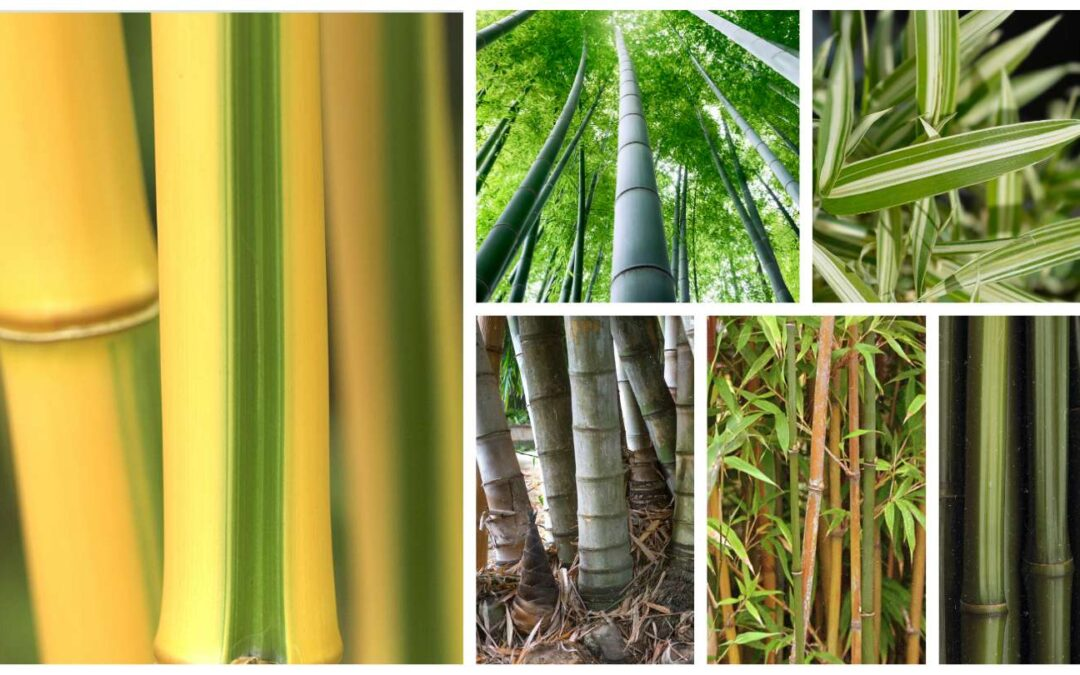 Bamboo genus and species