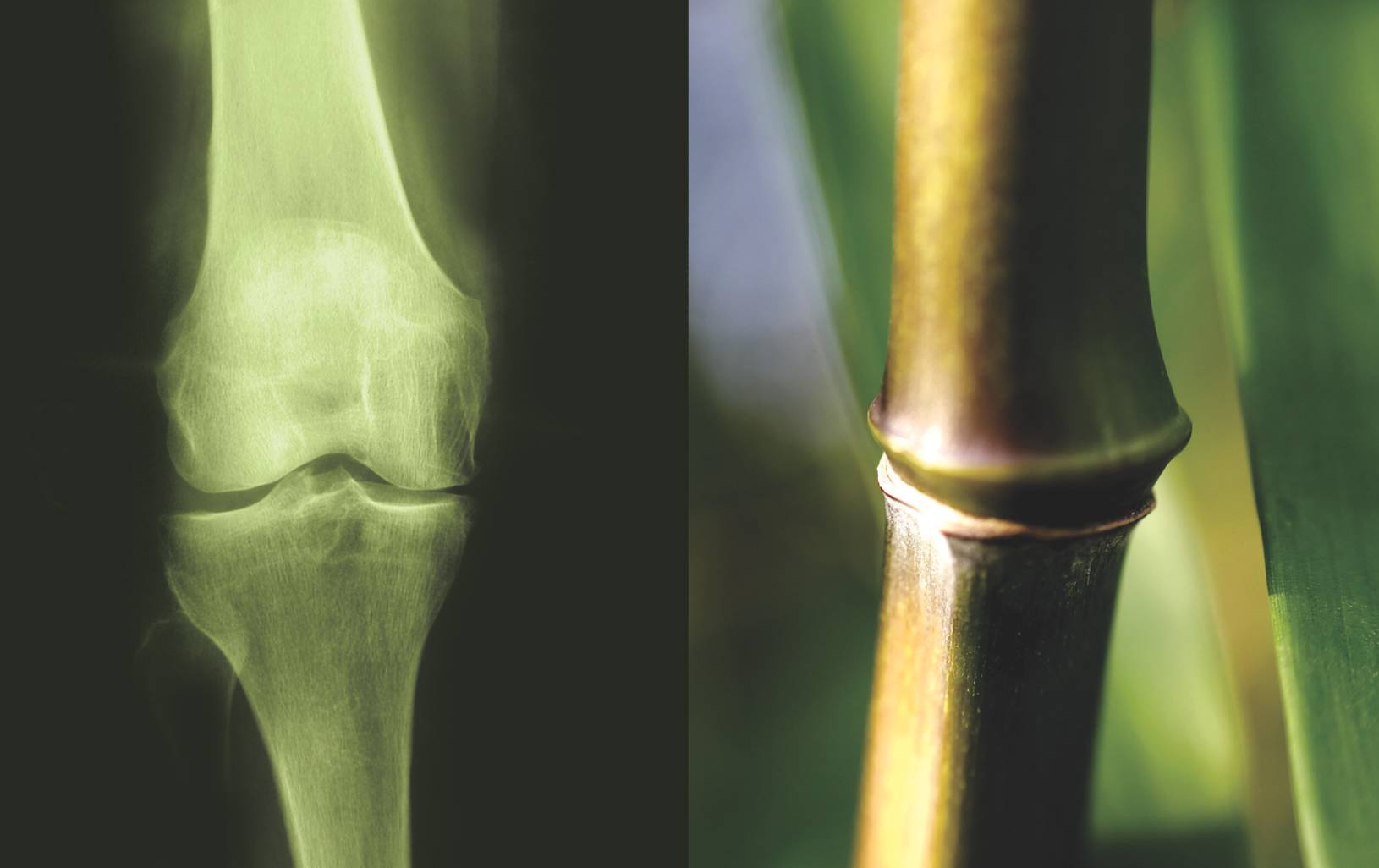 Bamboo node and femur joint