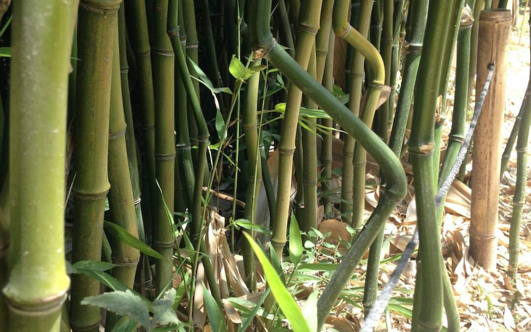 Bamboo with zigzags and other unusual features