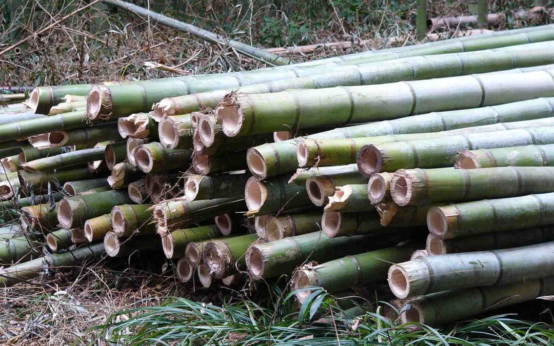 Growing bamboo for profit: Green gold
